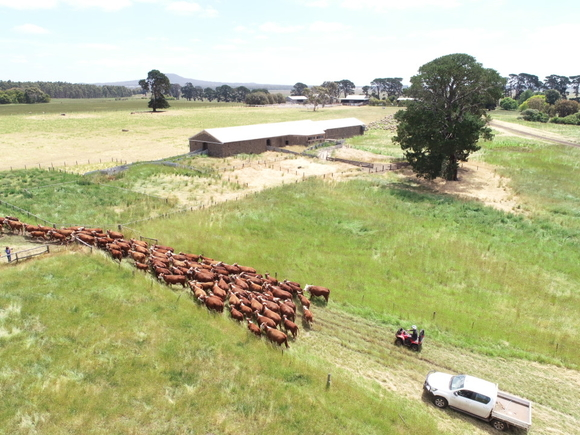Drone images: Herd of cattle